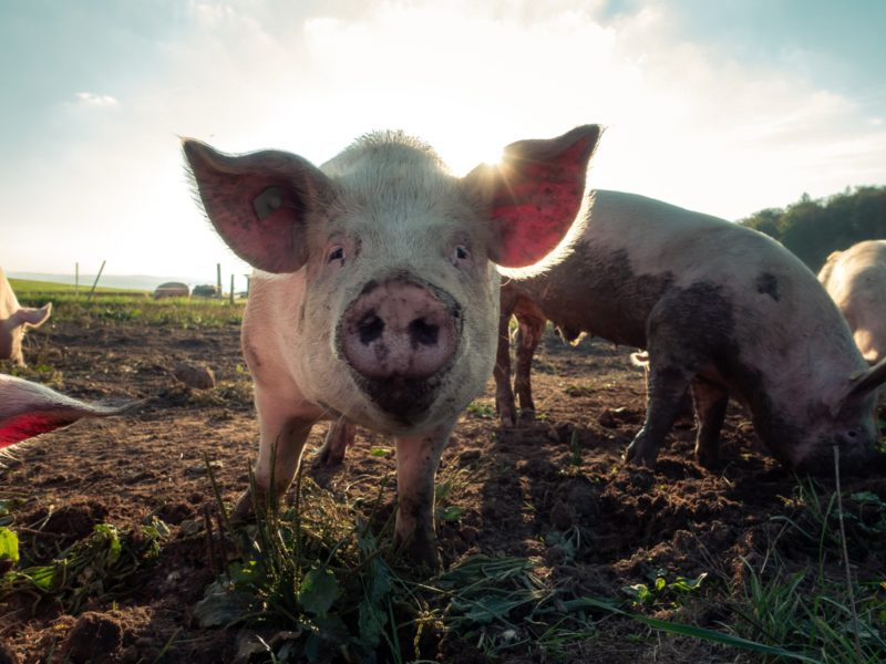 Pork Producers have another option for disinfecting against PEDv